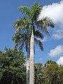 Roystonea regia (royal palms) (Sanibel Island, Florida, USA) 4 (27198810163).jpg