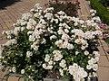Rozárium, fehér rózsák, 2017 Szolnok.jpg