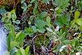 Rubus chamaemorus (16161825777).jpg