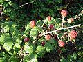 Rubus fruticosus2.jpg