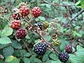 Rubus ulmifolius (2483246875).jpg