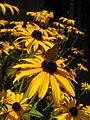 Rudbeckia hirta-црноока пупавица 02.jpg