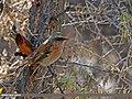 Rufous-backed Redstart (Phoenicurus erythronotus) (27899654530).jpg