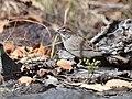 Rufous-crowned Sparrow (33206341073).jpg