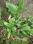 Ruhland, Grenzstr. 3, Christrose, Blätter neu austreibend, Frühling, 01.jpg