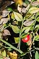 Ruscus aculeatus in Aveyron (8).jpg