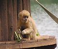 S. flavius SP Zoo 5.jpg