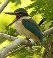 Sacred Kingfisher (Todiramphus sanctus) 07.jpg