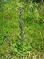 Saint-Lizier - Echium vulgare - 20200522 (1).jpg