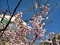 Saint Petersburg. Chinese Garden. Sakura tree2014 20.jpg