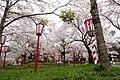 Sakura flower in Maniwa, Okayama Prefecture; April 2012 (04).jpg