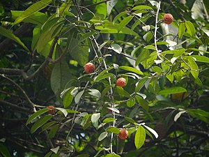 Salacia macrosperma (8903544488).jpg