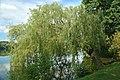 Salix x sepulcralis (aka).jpg