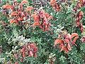 Salvia africana-lutea.jpg