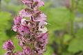 Salvia sclarea 'Euphoria'-IMG 4339.jpg