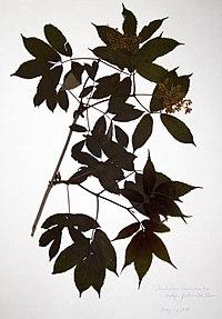 Sambucus racemosa BW-1979-0529-0013.jpg