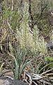 Sansevieria aethiopica01.jpg