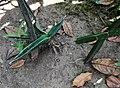 Sansevieria and Cissus - Arusha gardens.jpg
