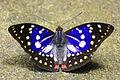 Sasakia charonda formosana male back 20140525.jpg