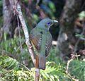 Satin Bowerbird. Female. Ptilinorhynchus violaceus - Flickr - gailhampshire.jpg