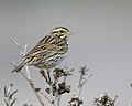 Savannah Sparrow (39518442591).jpg