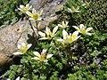 Saxifraga bryoides 001.jpg