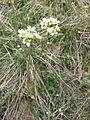 Saxifraga bulbifera sl2.jpg