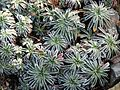 Saxifraga paniculata 'Carniolica' 3.JPG