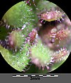 Saxifraga tridactylites sl33.jpg