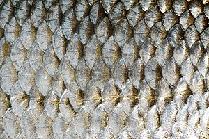 Fish scale - The cycloid scales of a common roach. The series of lateral line scales is visible in the lower half of the image.