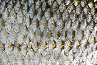 Scale (anatomy) - Cycloid scales on a common roach (Rutilus rutilus)