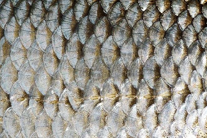 fischschuppen rotauge fischschuppenkrankheit heilung