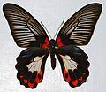 Scarlet Mormon (Papilio rumanzovia) (8365146128).jpg