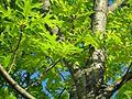 Scarlet Oak - Flickr - treegrow.jpg