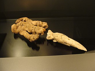 Phalanx bone - Image: Scelidotherium right hand