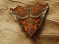 Scoliopteryx libatrix - The Herald - Совка зубчатокрылая (39054647190).jpg