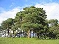 Scot's Pine on hill above Llys y Gwynt, Dolwyddelan. - geograph.org.uk - 1278343.jpg
