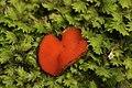 Scutellinia umbrorum (27998949840).jpg