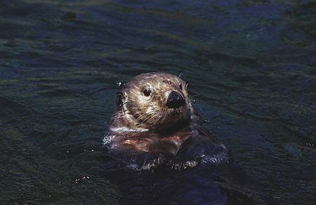 Sea otter(Vancouver Aquarium)03(js).jpg