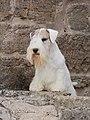 Sealyham Terrier - MM.2.jpg
