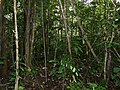 Secondary Forest understorey ... (38642335405).jpg