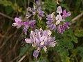 Securigera varia, lavender form, 2020-06-22, Mount Lebanon, 02.jpg