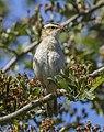 Sedge warbler (Acrocephalus schoenobaenus) 4.jpg