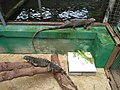 Sekelompok iguana.jpg