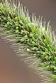 Setaria viridis, Groene naaldaar aarpluim.jpg