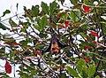 Seychelles Fruit Bat - Pteropus seychellensis 3.jpg