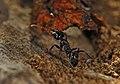 Shattuck N2-5738-1, Notoncus gilberti, near Bungendore, NSW (3821219567) (2).jpg