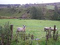 Sheep near Greenan Hill - geograph.org.uk - 1547908.jpg