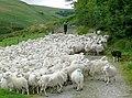 Shepherding at Ty'n Cornel, Cwm Doethie, Ceredigion - geograph.org.uk - 1427243.jpg