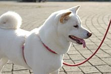 Shiba Inu Wikipedie